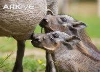 Common warthog piglets suckling - View amazing Common warthog photos - Phacochoerus africanus - on Arkive Red River Hog, Animals Beautiful, Mammals, Elephant, Horses, Piglets, Image, Closure, Cutest Animals