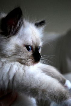 Ragdoll are extremely smart cats. Ragdolls learn how to fetch easily. They are large cats, one of the largest of all cat breeds Kittens And Puppies, Cute Kittens, Cats And Kittens, Ragdoll Cats, Siamese Kittens, Pretty Cats, Beautiful Cats, Animals Beautiful, Birman Cat