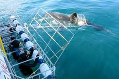 Cape Town: Shark Cage Dives - looks to be well rated...