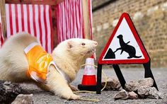 Specially trained ferrets are being used to deliver broadband to rural areas   following groundbreaking techniques used by an internet provider.