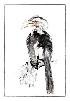 Yellowbilled Hornbill printed image by wildlife photographer Dave Hamman