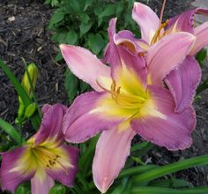 Nile Crane Daylily July 2014