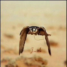 Falcons uae