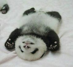 When you eat way too much Panda Express Baby Animals Super Cute, Cute Little Animals, Cute Funny Animals, Baby Animals Pictures, Cute Animal Pictures, Animals And Pets, Baby Panda Bears, Baby Pandas, Cute Panda Baby