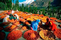 Very colorful scene: Burusho women sorting apricots grown in the Hunza valley close to the Karakoram Highway (which spans Pakistan, Afghanistan and China):