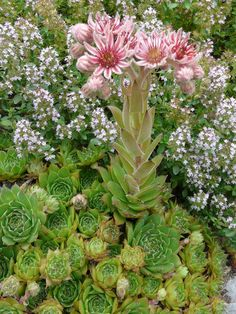 Sempervivum marmoreum is a perennial herb forming basal rosettes (up to 2.4 inches/6 cm)in diameter) of succulent leaves. The center of...