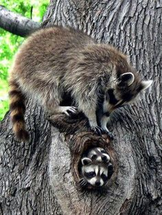 "Raccoons engage in gender-specific social behavior. Related females often share a common area. After a gestation period of about 65 days, two to five young, known as ""kits"", are born in spring. The kits are raised by their mother until late fall. Their average life expectancy in the wild is 1.8 to 3.1 years."