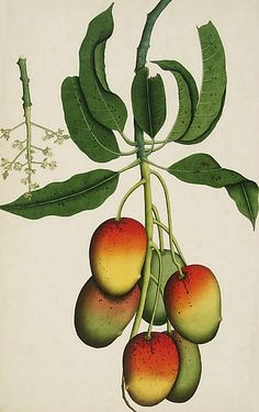 stilllifequickheart:  Unknown (India) Mango (Mangifera Indica) 1800