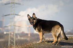 Schäferhund Einzigartige Pictures unseren besten Freunden! Hier noch ein Tip: http://besteversicherungenonline.de/hundever
