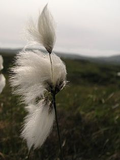 Bog Cotton, can be found where there is open bog, heath, wetland and moorland, with standing water and calcareous peat or acidic soil.