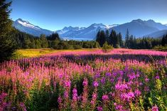 Oversized wall art of a meadow of wildflowers in a valley of evergreen trees with an Alaskan glacier in the background, available at GreatBIGCanvas.com.