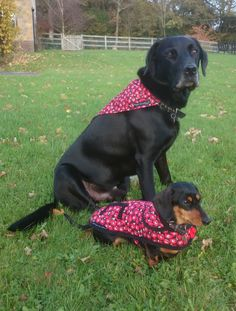 DID YOU KNOW we make ALL SORTS of things for ALL SORTS of dogs! They can't help not being a Dachshund! http://www.simplyspiffingdachshunds.co.uk/shop/autumnwinter-collection/the-poppies-dachshund-coat/