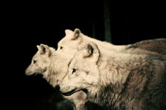 Wolves  Stunning artistic photography  Wildlife in by ZazaofCanada