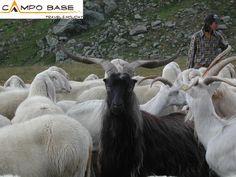 gregge di pecore e capre :-)