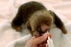 I didn't know a baby sloth would look cute