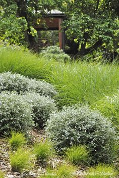 Undulations of lomandra 'Little Con', Miscanthus sinensis (grass with feathery spikes) and perennials, such as trimmed teucrium, cover the hillside Plants, Planting Flowers, Australian Native Plants, Garden Landscape Design, Modern Garden, Low Maintenance Garden, Australian Native Garden, Garden Planning, Garden Design