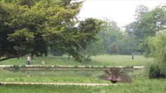 Lac Daumesnil * A peafowl