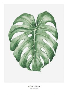 Illustration of monstera leaves...