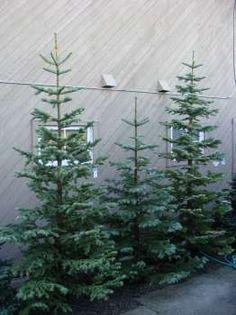 premium silvertip fir 8 9 ft at rogers gardens corona del mar literally down noble fir christmas treenoble - Silvertip Fir Christmas Tree
