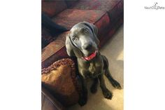 Weimaraner puppy for sale near Bloomington, Indiana | c0a0e682-a4f1