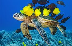Green Sea Turtle Getting Cleaned By Yellow Tang And Gold-Ring Surgeonfish Photography By: Masa Ushioda