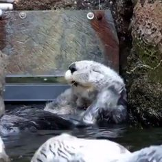 Unlike most marine mammals, otters don't have a layer of blubber. But, they do have the thickest fur of all animals. Cute Funny Animals, Cute Baby Animals, Animals And Pets, Cute Cats, Cute Creatures, Beautiful Creatures, Animals Beautiful, Animal Kingdom, Otters