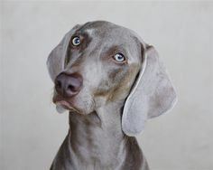 Love this photography from UGallery. Weimaraner by Kathleen Finlay #NationalDogDay