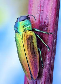 belionota sumptosa | canon 5d mark3 canon mpe-65 102 images … | Flickr - Photo Sharing!