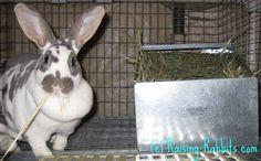Info. on rabbits pregnancy