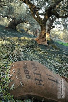 Olive harvest in Messinia, Peloponnese, Greece