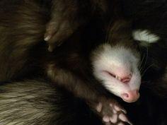 Ethel, our ferret