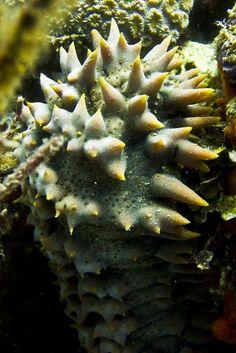 Giant spiny Sea Slug