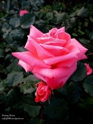 Rose in the May Garden ~ Historic Goodstay Gardens