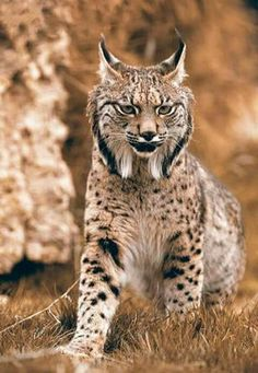 The Iberian lynx is the world's most endangered feline species. The conservation effort taken to prevent it's extinction has paid out. A shrinking population of less than 100 Iberian lynxs in 2002 is now up to 404 cats that live in the Mediterranean fores Majestic Animals, Rare Animals, Animals And Pets, Wild Animals, Big Cats, Cool Cats, Cats And Kittens, Beautiful Cats, Animals Beautiful