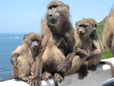 Baboon family, Simonstown, Cape Town, South Africa. Photographed by Anne-Mari Rossouw