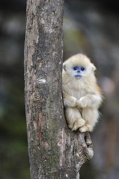 Golden Snub-nosed Monkey Young China Print By Thomas Marent