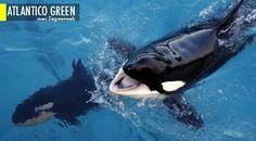 La lutte continue contre la chasse à la baleine