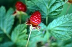 Geeks On Gardens: How to Propagate Raspberries With Cuttings