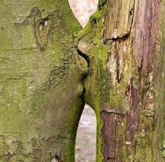 Loving Trees no matter how much we try to show the love that fills the world nature always seems to outshine our creativity , miyo jergen , 2016 the kissing trees , land art that arose naturally Weird Trees, Tree Faces, In Natura, Unique Trees, Nature Tree, Jolie Photo, Tree Art, Tree Of Life, Natural Wonders