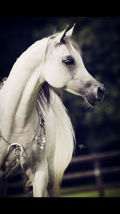 gorgeous profile of an Arabian's head..  the pretty faces of the horse world~