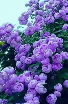 Beautiful Flowers Garden, Flowers Nature, Exotic Flowers, Amazing Flowers, Beautiful Roses, Pretty Flowers, Purple Flowers, Beautiful Gardens, Beautiful Flowers Wallpapers