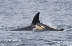 CA140B and her young calf CA140B1. The calf was first seen on March 9 off Newport Beach, according to Alisa Schulman-Janiger, making it just over 9 weeks since first photographed.