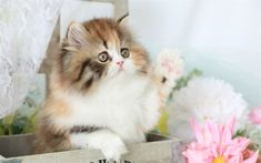 Download wallpapers persian kitten, 4k, cute animals, kitten, cats, Persian cat