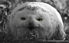 Snowy Owl eating