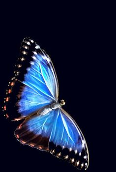 Blue Morpho butterfly of Costa Rica, look like fairies flitting in the forest.