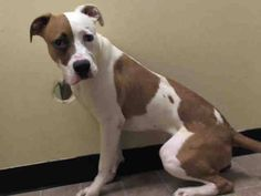 Manhattan Center    CONAN - A1008699    MALE, BROWN / WHITE, PIT BULL MIX, 1 yr, 5 mos  STRAY - STRAY WAIT, NO HOLD  Reason STRAY   Intake condition NONE Intake Date 07/31/2014, From NY 10468, DueOut Date 08/03/2014  https://www.facebook.com/Urgentdeathrowdogs/photos/a.617938651552351.1073741868.152876678058553/847877998558414/?type=3&permPage=1