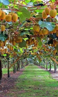 Pin on Fruit threes Fruit Plants, Fruit Garden, Edible Garden, Fruit Trees, Vegetable Garden, Fruit And Veg, Fresh Fruit, Fruit Bearing Trees, Fruit Photography