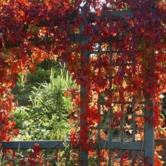 VIRGINIA CREEPER Parthenocissus quinquefolia  A stunning deciduous self clinging creeper.  Green summer foliage serrated leaves turn vivid red gold and burgundy in autumn.  Makes an ideal decorative wall covering.  Very hardy in full sun or part shade position.