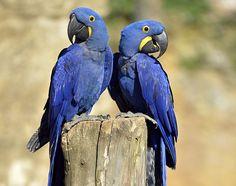Papoušek Ara modrý