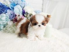 All Puppies For Sale - Posh Pocket Pups Micro Teacup Poodle, Micro Teacup Puppies, White Pomeranian Puppies, Tea Cup Poodle, Tiny Puppies, Shih Tzu Puppy, Teacup Puppy Breeds, Teacup Shih Tzu, Teacup Dogs For Sale